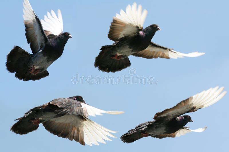 Taube im Flug stockfotos