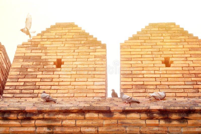 Taube oder Taube Columba livia ist, stehend fliegend und auf alter Wand an Tha-phae Tor mit Sonnenlicht kindische nahtlose Bescha stockbilder