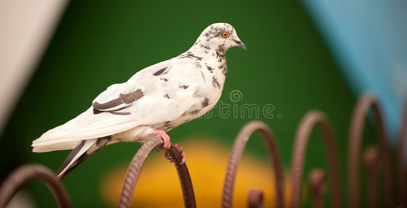 Taube sitzt auf dem Fechten stockfotografie