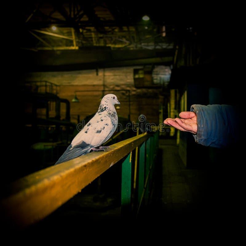 Taube sitzt auf dem Handlauf im Industriegebiet und in der Hand der Person, welche die Zufuhr gibt stockfotos
