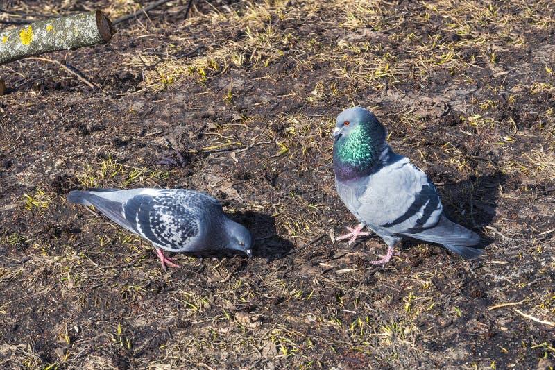 Taube zwei auf dem Hintergrund des trockenen Grases, nasse Erde, lizenzfreie stockbilder