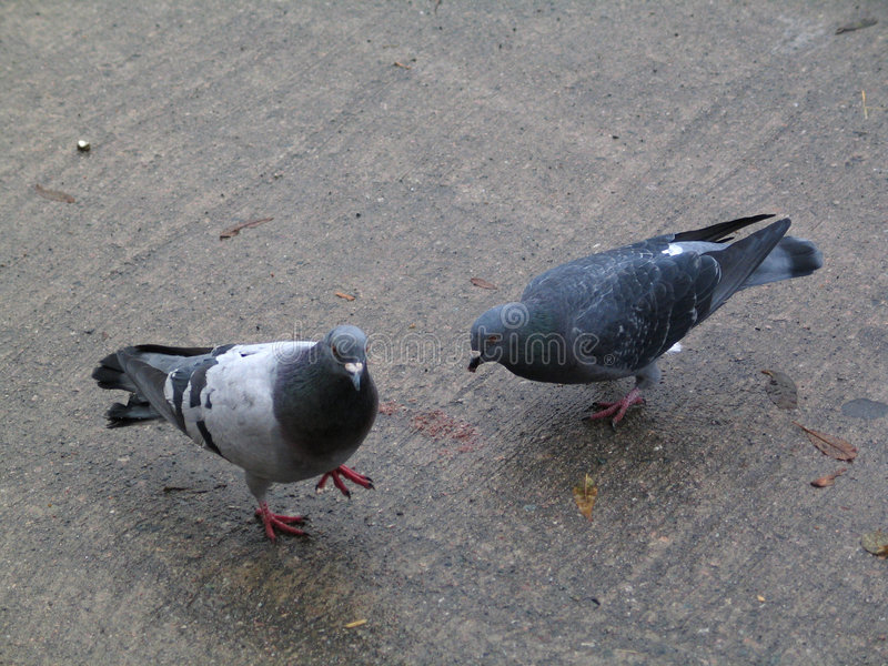 Tauben stockfotografie