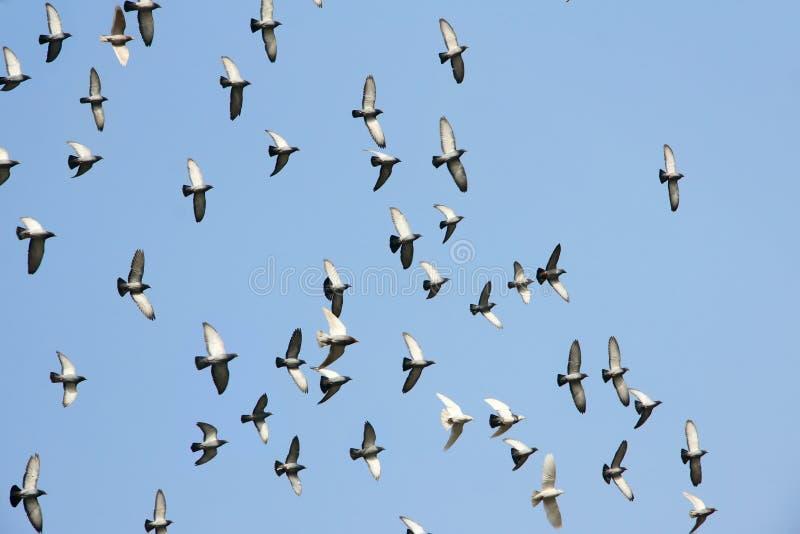 Tauben stockbild