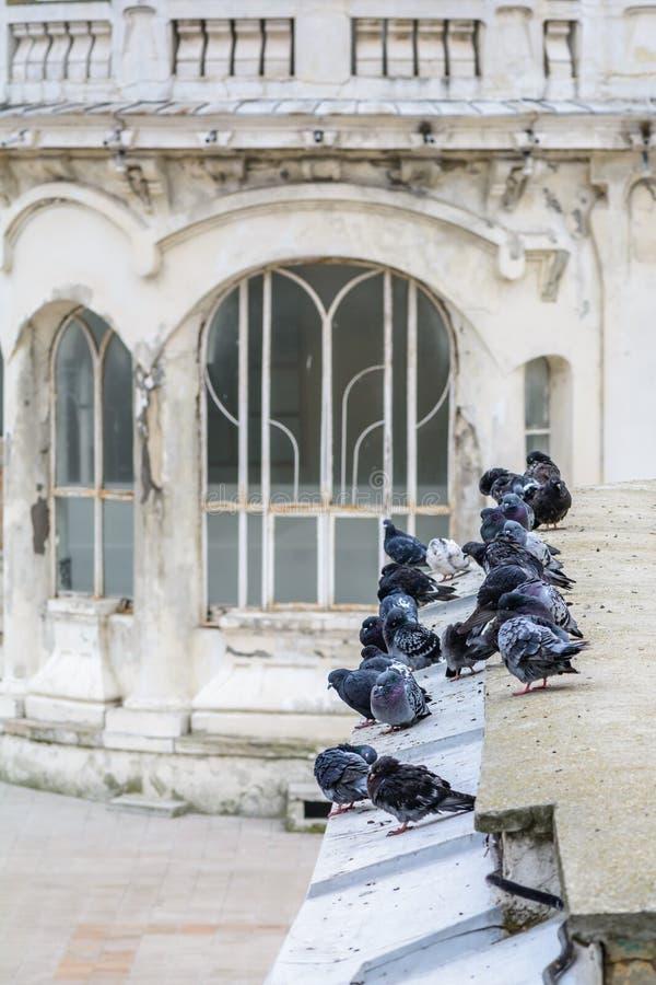 Tauben auf altem Stadtgebäude Zahlreiche Schwarzweiss-Tauben a stockfoto