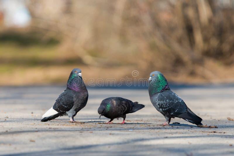 Tauben auf dem Hintergrund der Stadt lizenzfreie stockfotos