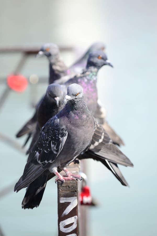 Tauben auf dem Zaun lizenzfreie stockfotografie