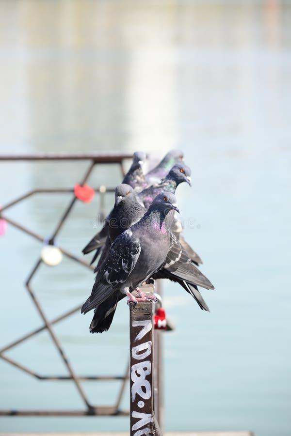 Tauben auf dem Zaun lizenzfreies stockbild