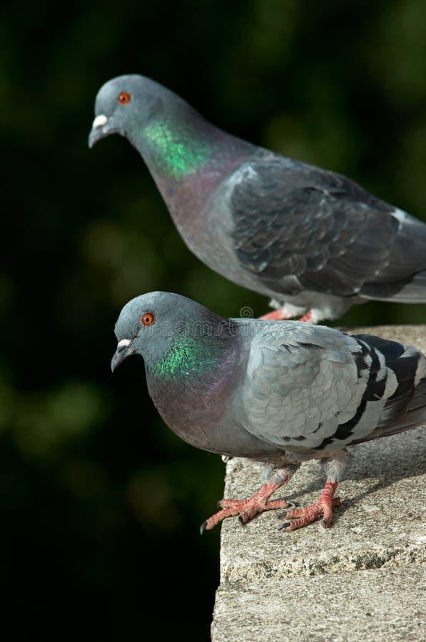 Tauben auf einem Balkon stockfotografie