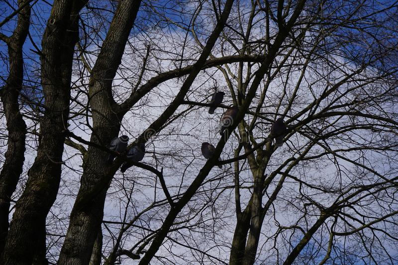 Tauben auf einem Baum im blauen Himmel des Winters lizenzfreies stockfoto