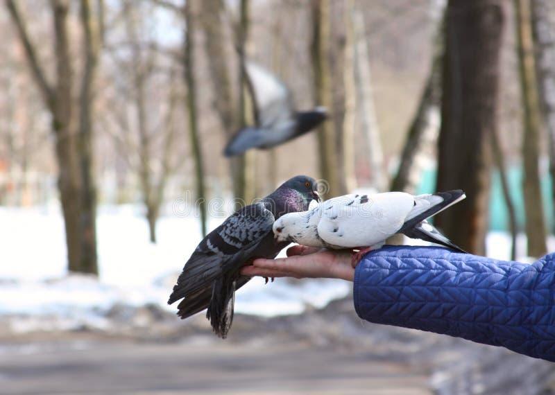Tauben, die in der Hand speisen lizenzfreie stockfotos