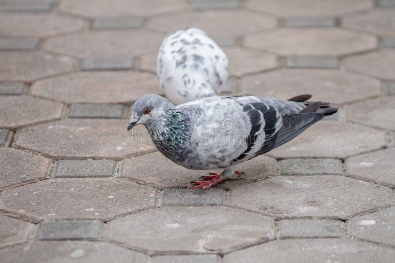Tauben, die für Lebensmittel aus den Grund picken lizenzfreie stockbilder