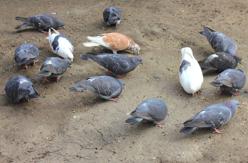 Tauben, die Korn picken lizenzfreie stockbilder