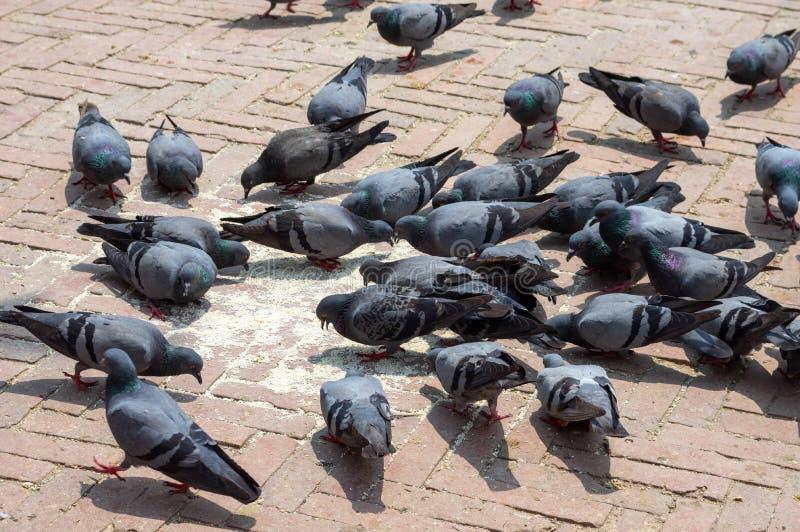 Tauben, die Reis essen lizenzfreies stockbild