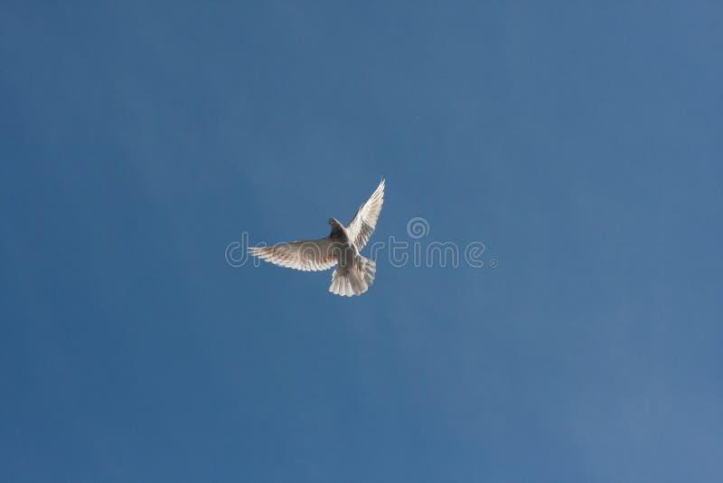 Tauben man steigt über dem Boden an ausbreiten lizenzfreie stockbilder