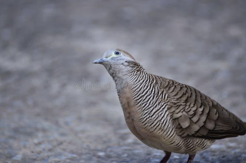 Tauben-Porträt stockbilder