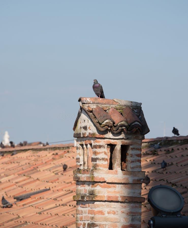 Tauben stehen auf dem Kamin und genießen die Sonne stockfotos