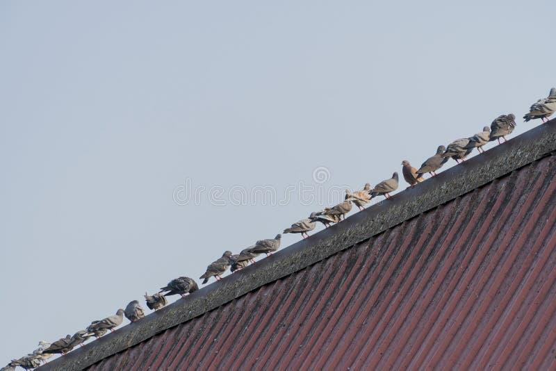 Tauben stehen zusammen auf dem roten Dach stockbild