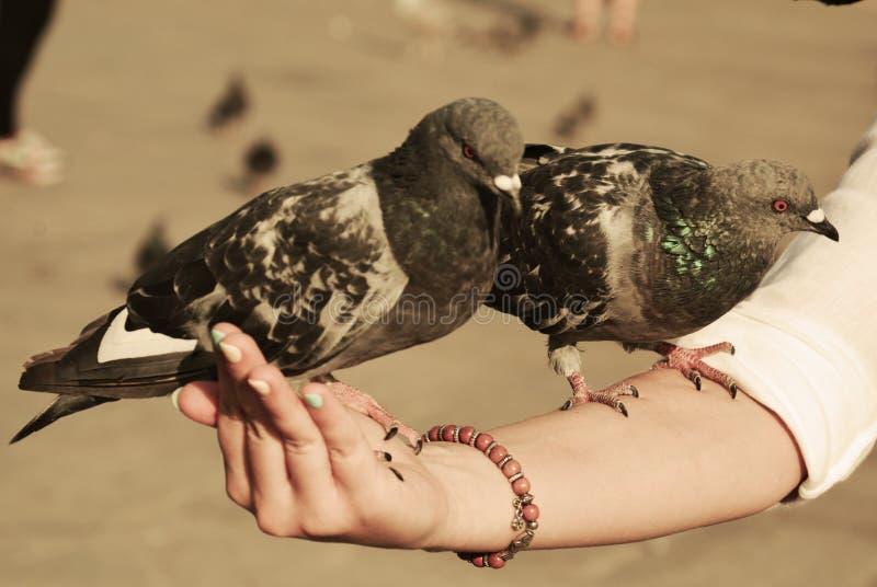 Tauben in Venedig stockfotos