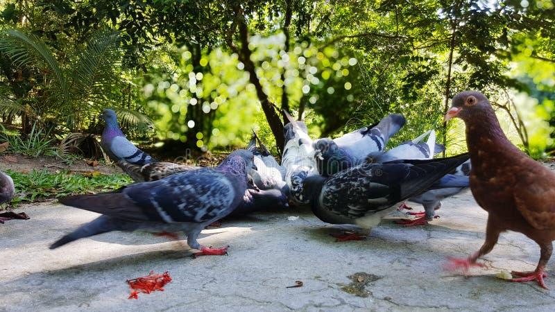 Taubenfütterungszeit natürliches schönes szenisches lizenzfreies stockbild