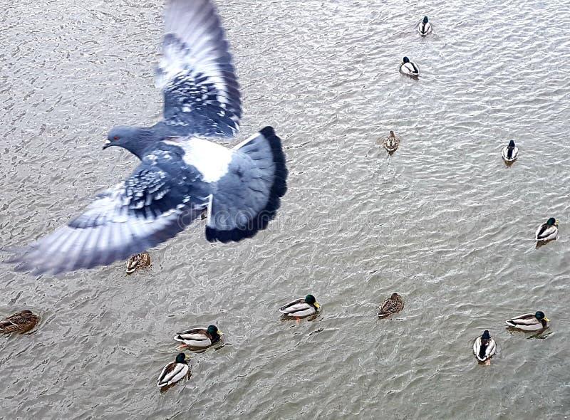 Taubenfliegen über Wasser und sich hin- und herbewegender Draufsicht der Enten stockfotos