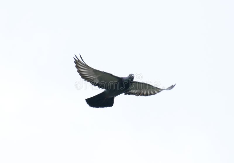 Taubenfliegen im Himmel mit laufendem Spielsport der vollen Geschwindigkeit stockfoto