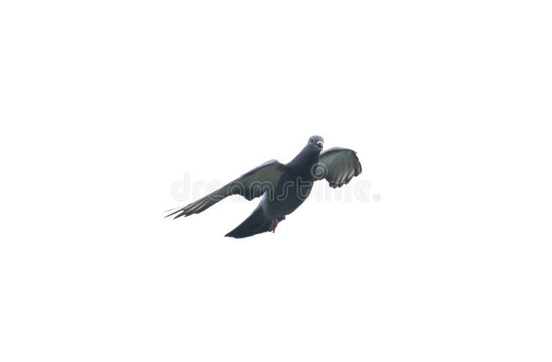 Taubenfliegen im Himmel mit laufendem Spielsport der vollen Geschwindigkeit lizenzfreie stockbilder