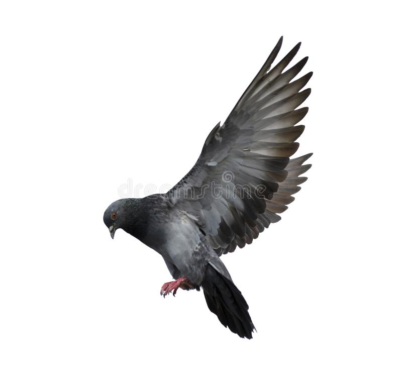 Taubenfliegen lokalisiert auf Weiß stockbilder