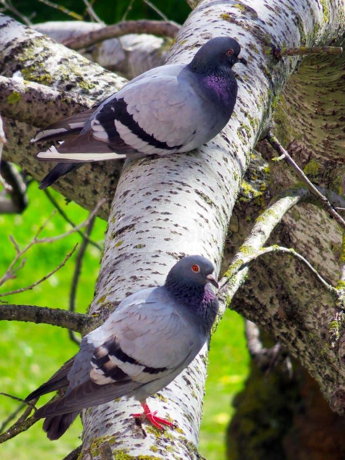 Taubenpaare lizenzfreies stockbild
