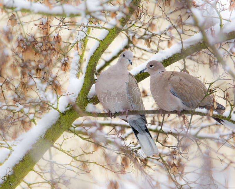 Taubenpaare, die auf einem Baum mit Schnee sitzen lizenzfreie stockfotos