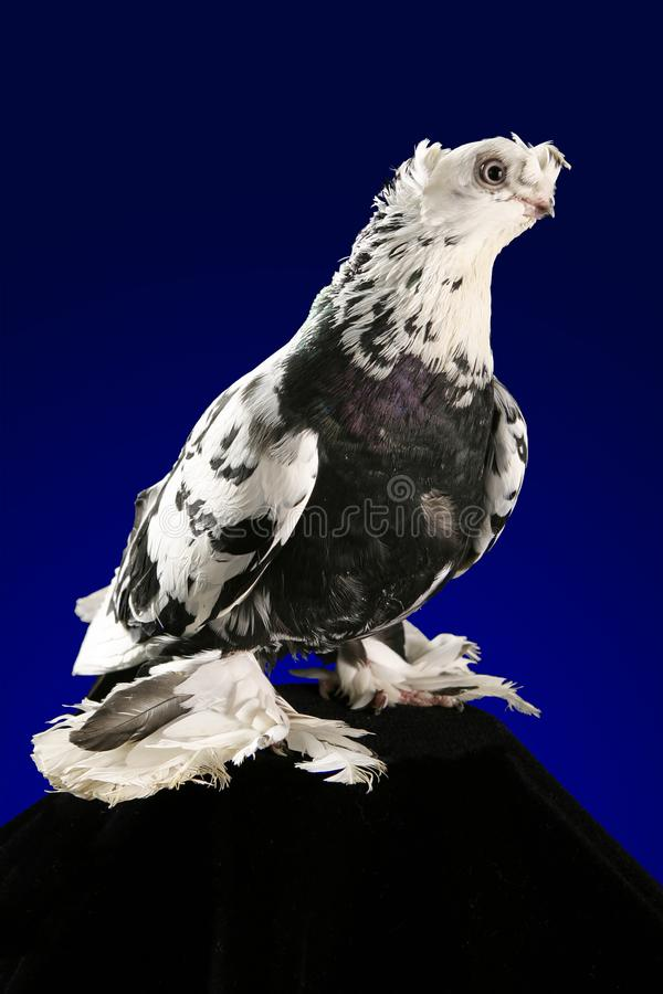 Taubenstudioschießen auf einem dunkelblauen Hintergrund lizenzfreies stockfoto