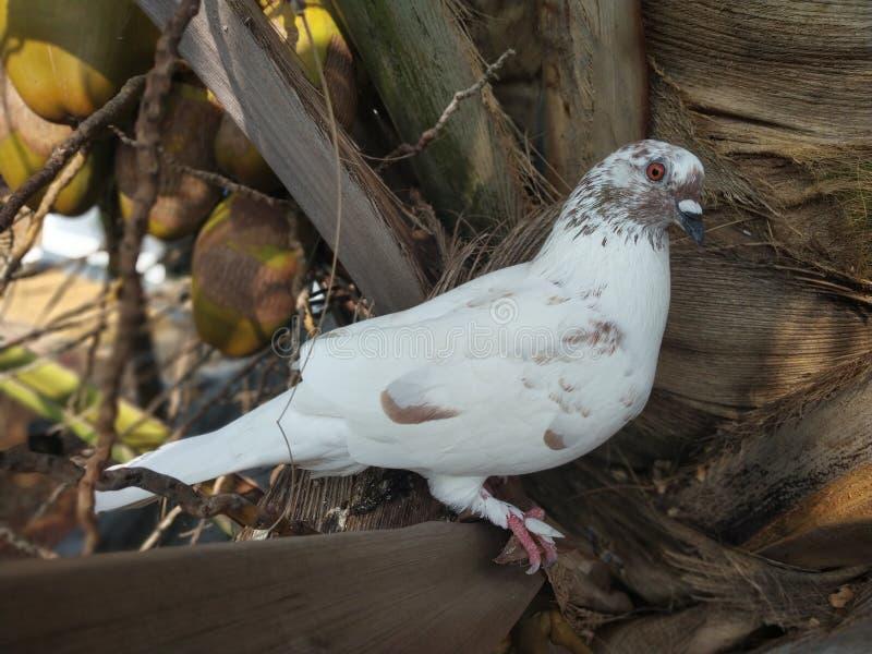 Taubenweiß stockfotos