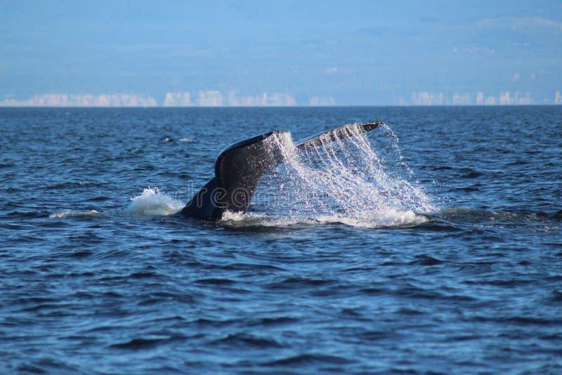 Tauchbuckel-Wal stockfotografie