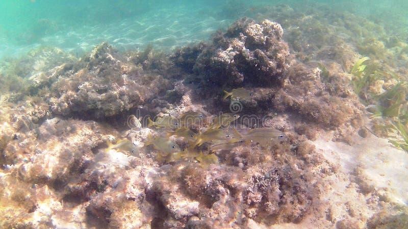 Tauchen im karibischen Meer Tropische Fische Jugendliche gelbe Gorette-Fische stockfotos