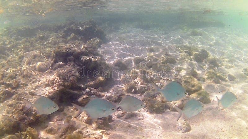 Tauchen im karibischen Meer Tropische Fische Trevally-pumpano Jugendliche lizenzfreies stockfoto