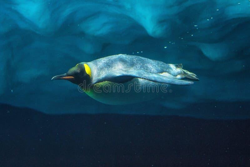Tauchender Pinguin Unterwasser-, Unterwasseransicht lizenzfreie stockfotos
