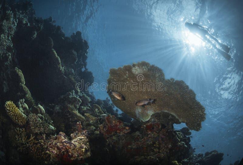 Taucher über einem Korallenriff lizenzfreie stockfotos