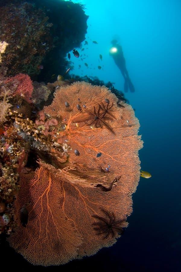 Taucher und Gorgone korallenrotes Indonesien Sulawesi stockfotografie