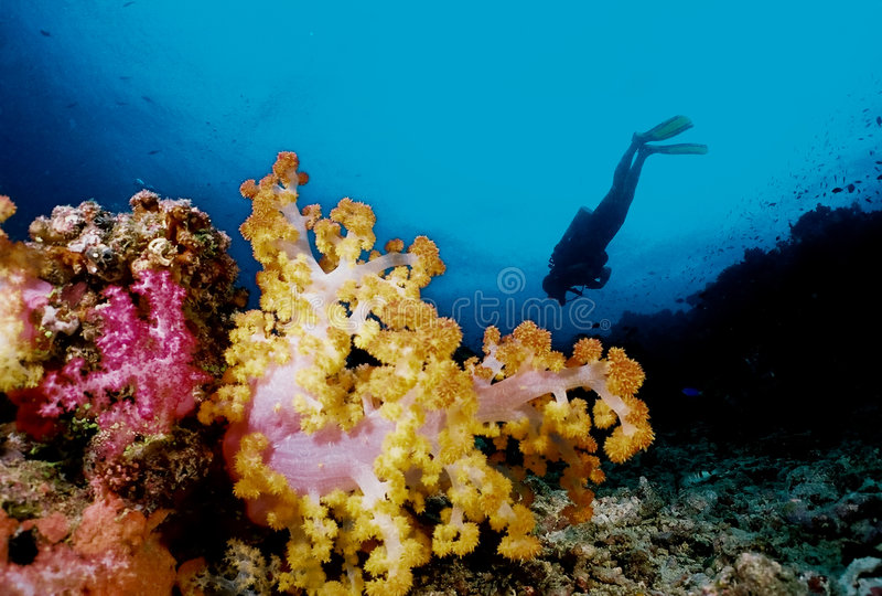 Taucher und weiche Koralle stockfoto