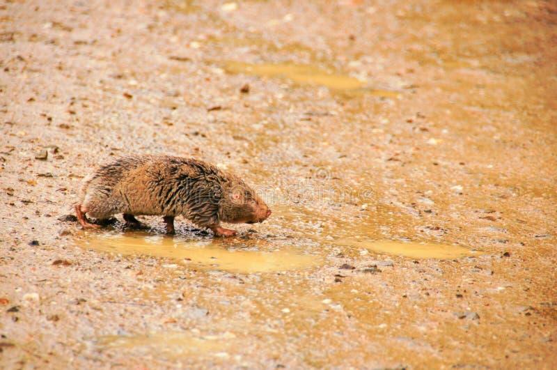 Taupe-rat de cap, Afrique du Sud image libre de droits