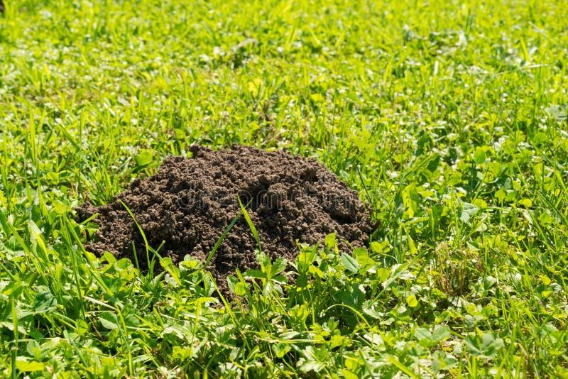Taupinière sur la pelouse à la lumière du soleil lumineuse - copiez l'espace photographie stock