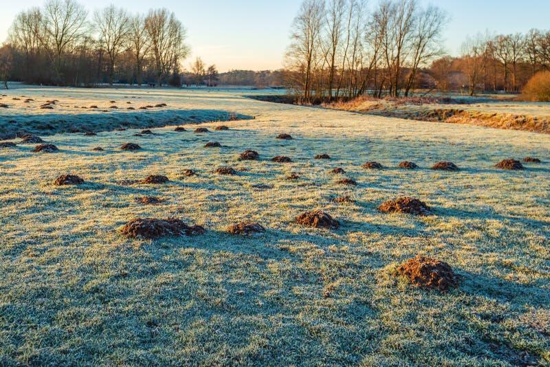 Taupinières dans l'herbe givrée d'un parc photos stock