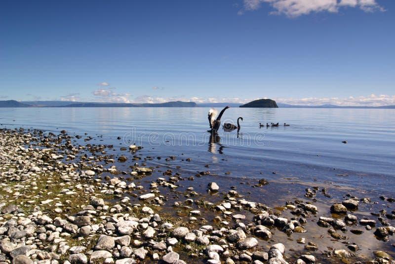 taupo jezioro łabędzie zdjęcia stock