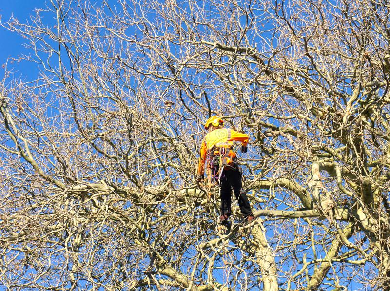 Arborist high in tree supported by safety ropes trimming branches. royalty free stock image