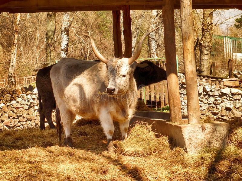 Taureau blanc sauvage photographie stock