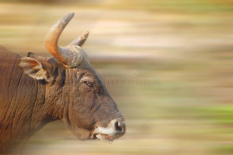 Taureau de remplissage photographie stock libre de droits
