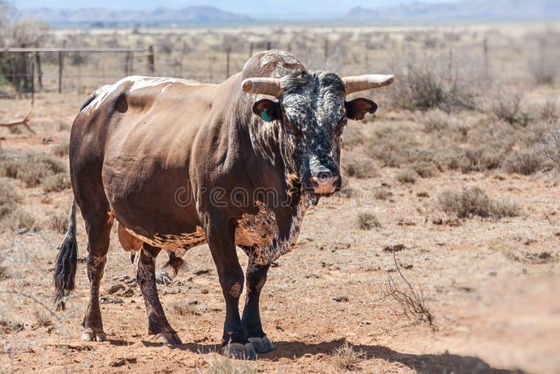 Taureau de taureau de Nguni photographie stock libre de droits