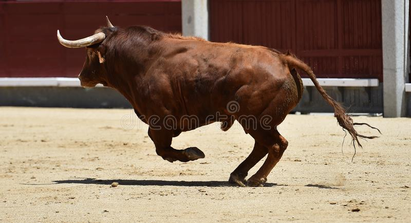 Taureau espagnol dans l'arène photographie stock libre de droits