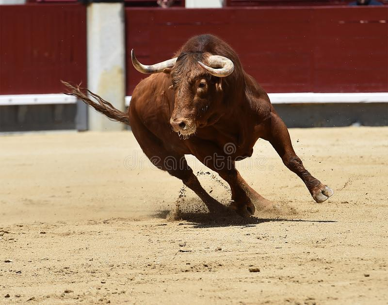 Taureau espagnol dans l'arène photos stock
