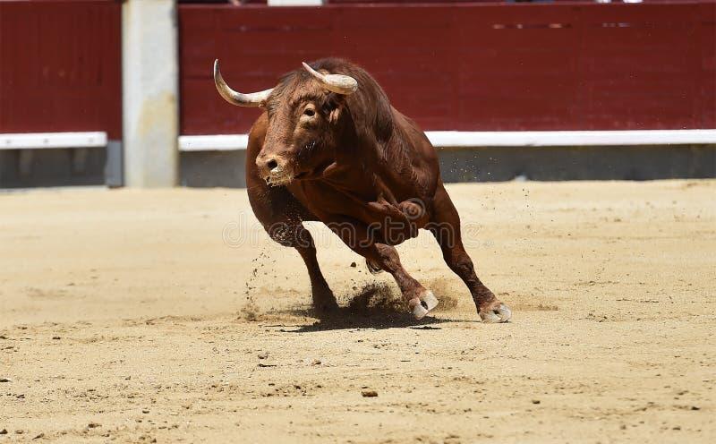 Taureau espagnol dans l'arène photo stock