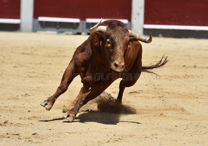 Taureau espagnol dans l'arène photos libres de droits
